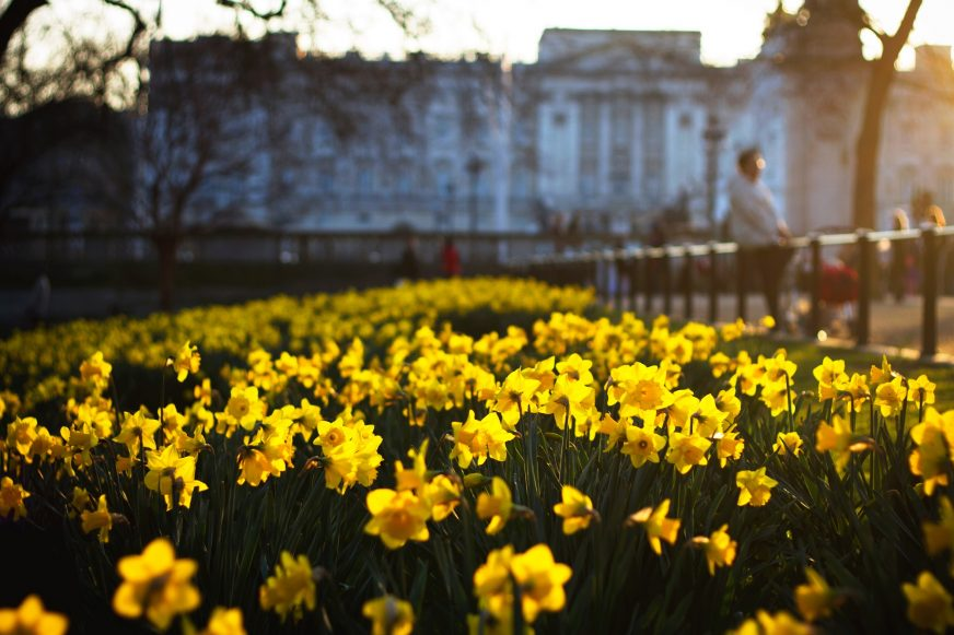 Daffodils in front of Buckingham Palace