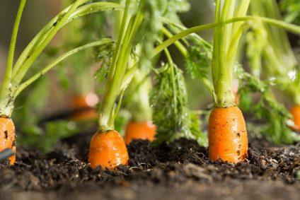 carrots growing